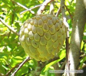 Сахарное дерево аннона: фото и описание, свойства (польза и вред)