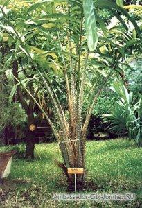 Как растет салак (дерево с иголками)