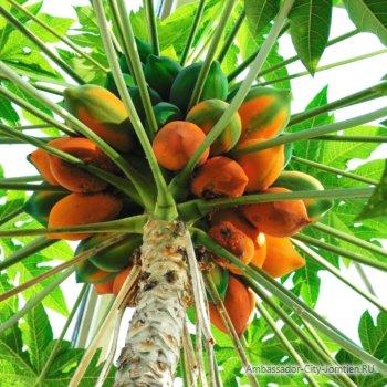 Как растет фрукт папайя