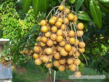 Как растет лонган