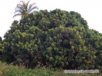 Дерево с растущими фруктами личи