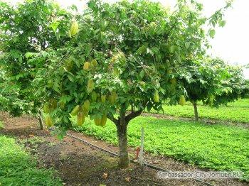 Дерево карамбола