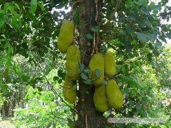 Как растет джекфрут - хлебное дерево