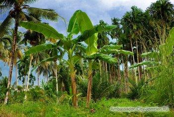 На каком дереве растут бананы