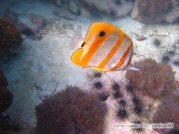 Рыба-камень: ядовитые рыбы в Тайланде