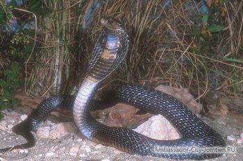Ядовитые змеи в Тайланде