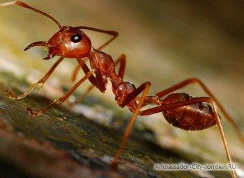 Красные муравьи в Тайланде