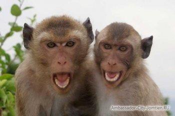 Агрессивные обезьяны в Тайланде