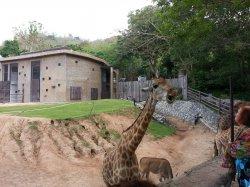 Кхао Кхео: жирафы встречают туристов в специальном рве