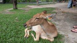 Кхао Кхео: олень
