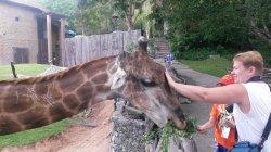 Кхао Кхео: жирафа тоже можно не только покормить, но и погладить