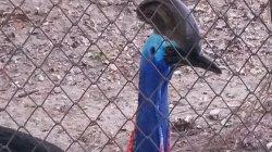 Кхао Кхео: и вот такие странные павлины - тоже жители этого зоопарка