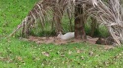 Кхао Кхео: белый кенгуру - чудо природы (альбинос)
