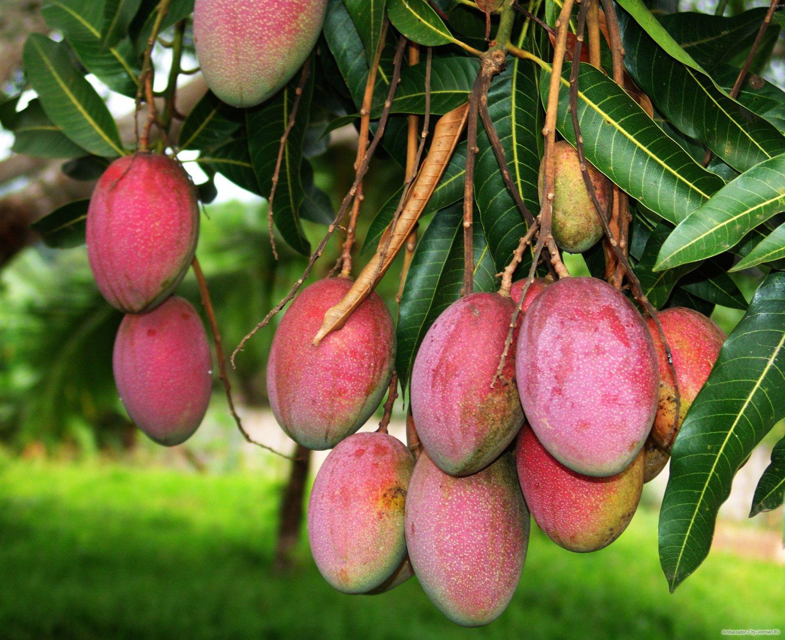 фрукта манго фото